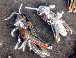 Grasshoppers Killed By Beauveria Fungus