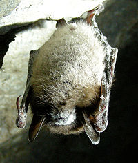 Little Brown Bat with White Nose Syndrome (Wikipedia)