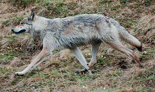 Wolf in Denali National Park, 2 June 2010, photo by Ken Miller.