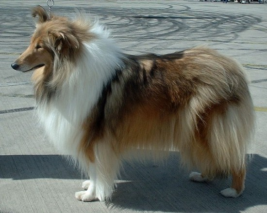 A Rough Collie.  Photo by sannse at the City of Birmingham Championship Dog Show, 30th August 2003.