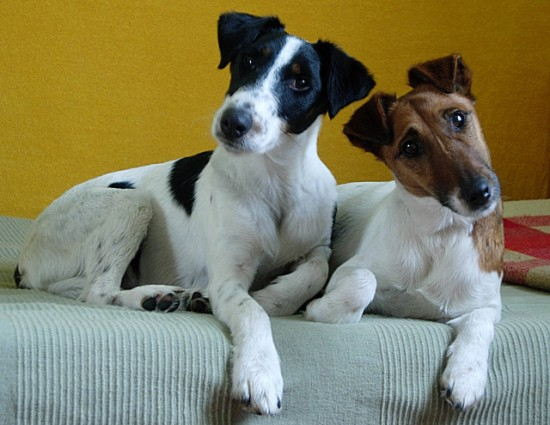 Two smooth fox terriers, photographed 23 March 2008 by Franek B (www.bisiki.pl).