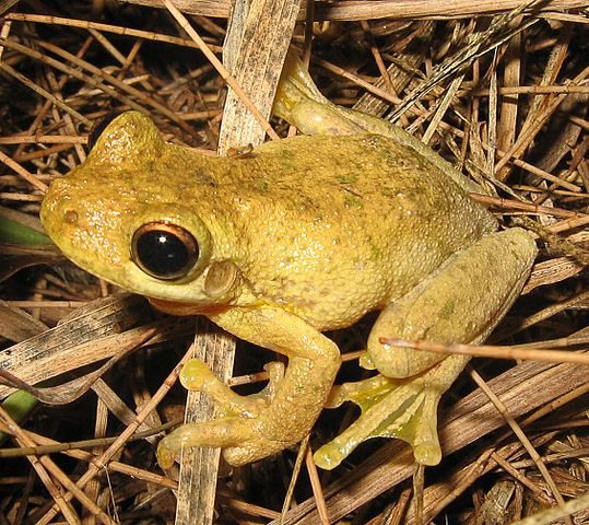 Tyler's Tree Frog (Litoria tyleri).  Photo by LiquidGhoul (2006-01-10 (first version); 2007-03-07 (last version)).  Photo by LiquidGhoul.