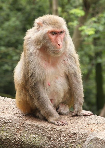 Female Rhesus macaque on Qianling Shan in the outskirts of Guiyang, photographed by Einar Fredriksen on 7 June 2009.