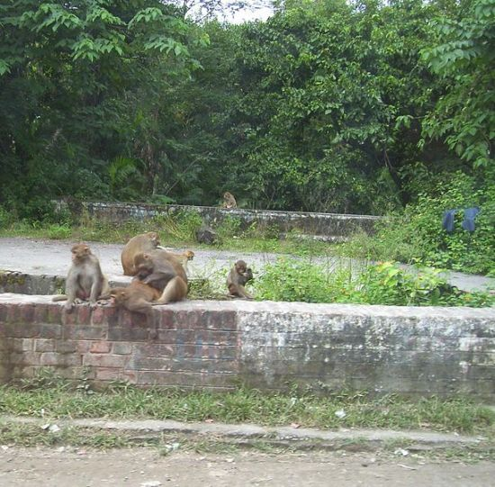 """A band of rhesus macaque on the side of a road in Rishikesh, Uttarakhand, India. Although infamous as pests, who are quick to steal not only food, but also household items, it is not certain if the pair of jeans draped over the wall on the right is their handiwork. "", according to the photographer, Fowler&Fowler (2008)."
