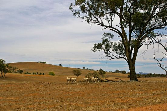 Sheep on a drought-affected paddock near Uranquinty, photographed 14 February 2009 by Bidgee.