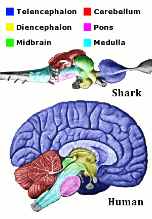 The caption on http://en.wikipedia.org/wiki/Brain : The main anatomical regions of the vertebrate brain, shown for shark and human. The same parts are present, but they differ greatly in size and shape.  Image by Looie496, 2011-09-30 .