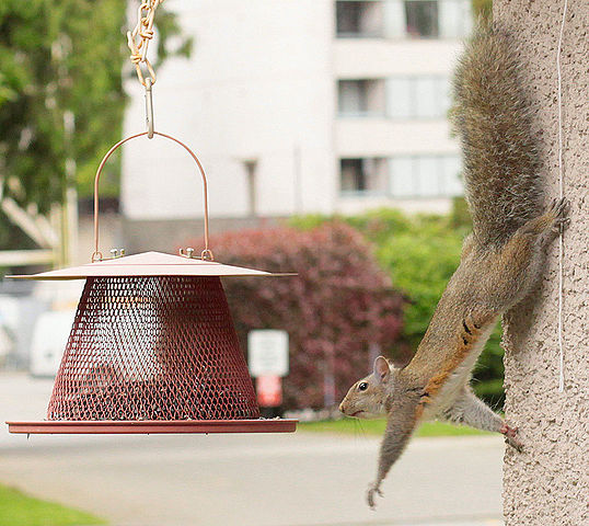 A squirrel reaching for food on a garden bird feeder, this squirrel can rotate its hind feet, allowing it to descend a tree head-first. (Caption from http://en.wikipedia.org/wiki/Squirrel ; author 'waferboard', uploaded by 'Snowmanradio'.)