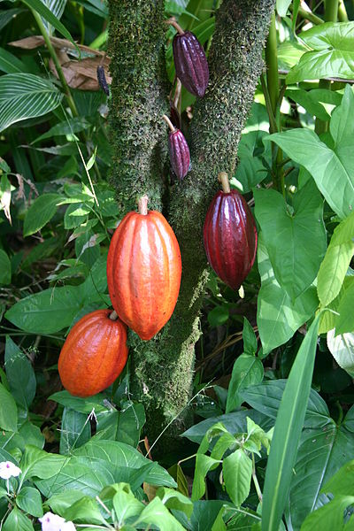 Chocolate is created from the cocoa bean. A cacao tree with fruit pods in various stages of ripening.  Photo by Medicaster.