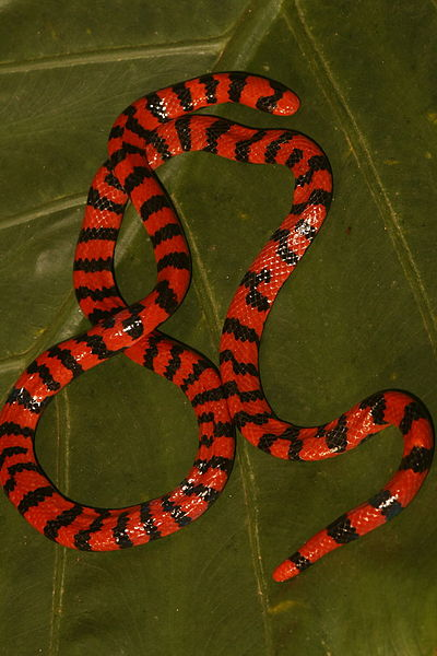 American pipe snake = false coral snake (Anilius scytale).  Photographed 12 December 2007 by DuSantos.