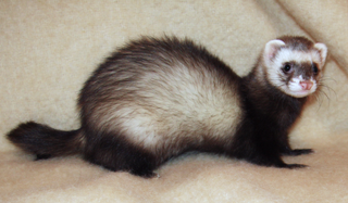 Roy, a ferret, photgraphed by Alfredo Gutiérrez .