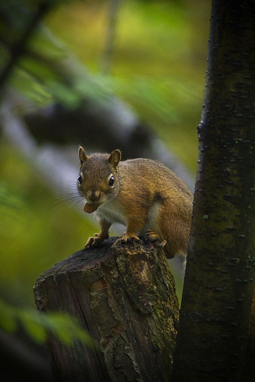 Baby American red squirrel, photographed 20 June 2010 by Dan Leveille.