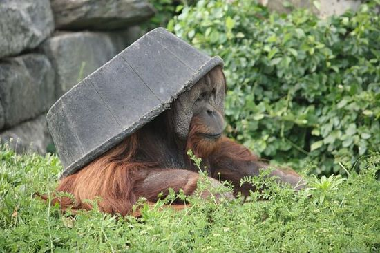 Orangutans can use objects in creative ways. Photo taken by Postdif from Wikipedia, at the Philadelphia Zoo on 8 May 2010.