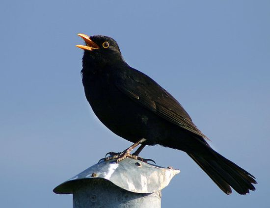 Singing male blackbird, Bogense havn, Funen, Denmark. Image provided by Malene Thyssen (User:Malene), 13 May 2004, via da:Billede:Solsort.jpg on the Danske Wikipedia.