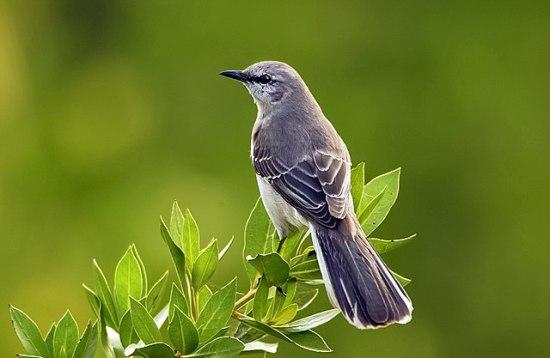 640x417.NorthernMockingbird.U.S.Fish&WildlifeService.jpg